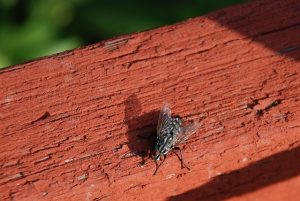 fishers-indiana-fly-pest-control