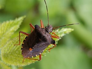 fishers-indiana-stink-bug-pest-control